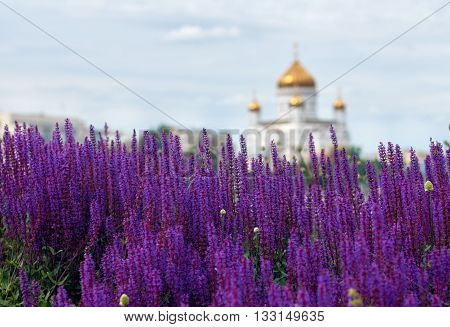 lavender lawn on the Crimean embankment with Church of the Holy Martyrs Florus and Laurus on background. Moscow, Russia. focus on the middle of the picture