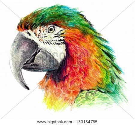 Color sketch - Parrot profile. On white background. Detailed color pencil drawing
