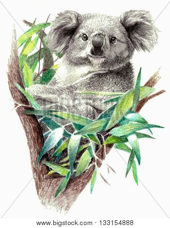 Color sketch - Koala bear on the tree. On white background. Detailed pencil drawing