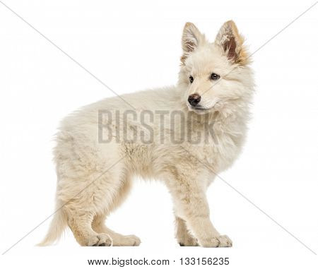 White Swiss Shepherd puppy standing up and looking away, isolated on white