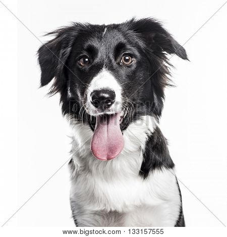 Close-up of a Border Collie puppy sticking the tongue out, isolated on white