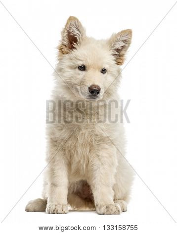 White Swiss Shepherd puppy isolated on white