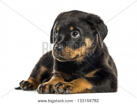 Rottweiler puppy lying down, isolated on white