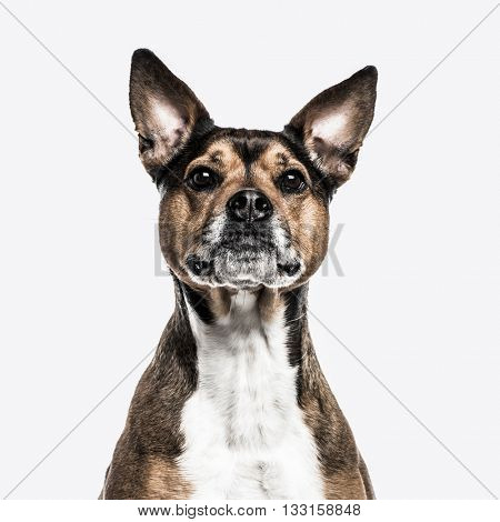 Close-up of a Crossbreed dog between a french Bulldog and a Rottweiller looking at the camera, isolated on white