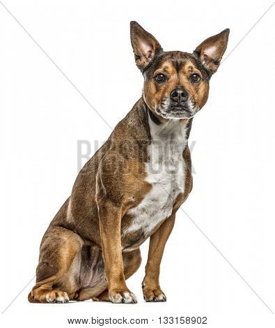 Crossbreed dog between a french Bulldog and a Rottweiller looking at the camera, isolated on white