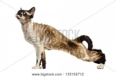 Side view of a Devon Rex streching and looking up, isolated on white