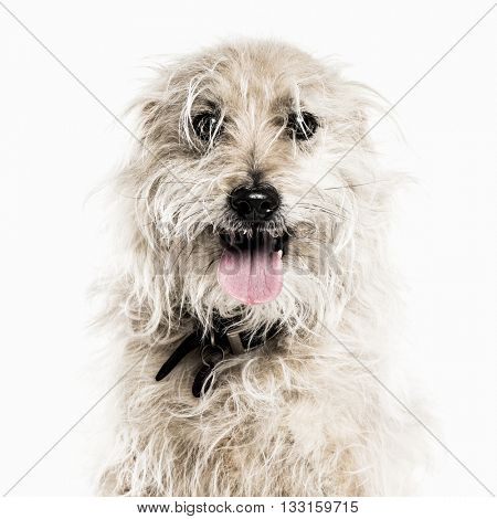Close-up of a Crossbreed dog looking at the camera, sticking the tongue out, isolated on white