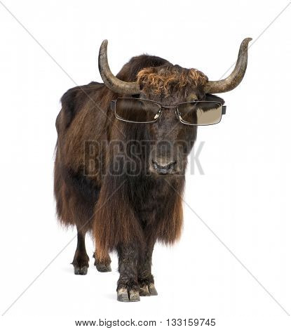 Yak wearing sunglasses, standing up, isolated on white