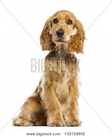English Cocker Spaniel looking at the camera, isolated on white