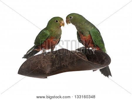 King Parrot on a pirate hat, isolated on white
