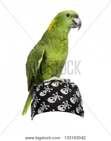 Yellow-crowned Amazon on a pirate bandana, isolated on white