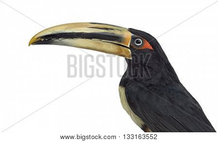 Close up profile of a Pale Mandibled Aracari, Pteroglossus Erythropygius, looking at the camera, isolated on white