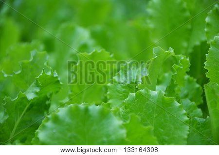 Lettuce Salad Green Leaves Countryside Garden Summer 3