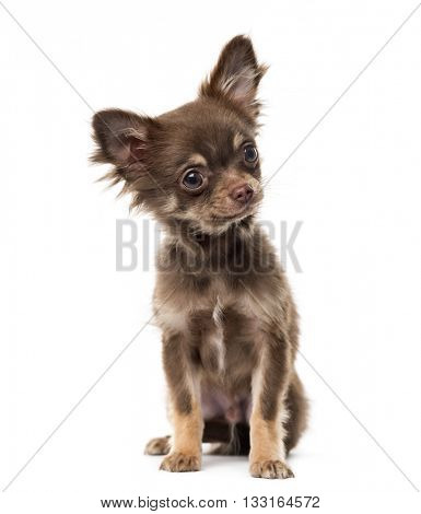 Chihuahua puppy looking away and sitting, isolated on white