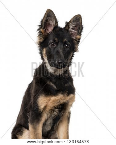 German Shepherd Dog puppy looking away and sitting, isolated on white