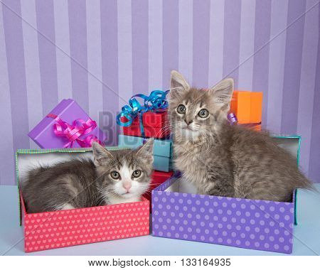 Two one month old tabby kittens one in birthday present one walking by piles of brightly colored boxes bright purple stripped background with Happy copy space above