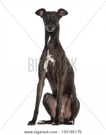 Italian Greyhound, Piccolo Levriero Italiano, sitting and isolated on white