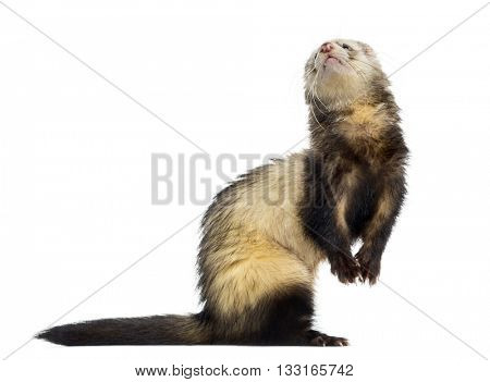 Ferret on his hind legs and looking up, isolated on white