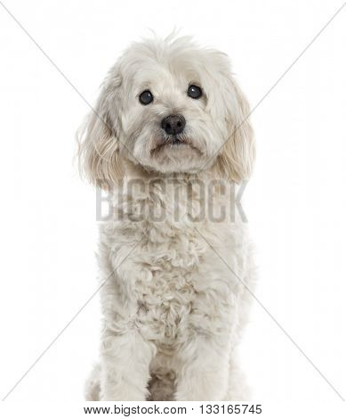 Bichon Fris�© looking at the camera and sitting, isolated on white