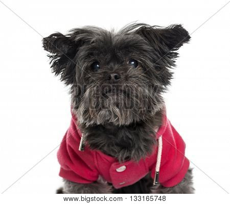 Close-up of a Shih Tzu looking at the camera, isolated on white