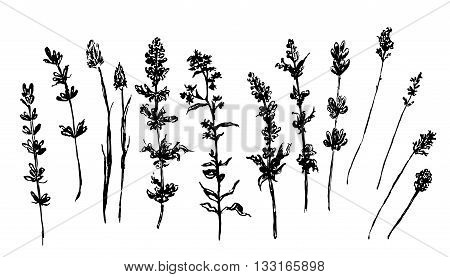 drawing large set  collection of forest and meadow grasses isolated graphic sketch vector illustration