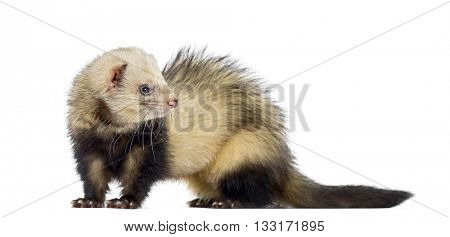 Ferret looking away, isolated on white