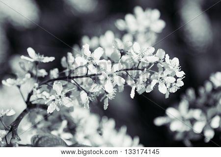Branch of bird cherry tree on green background. Black and white background. Flowers bird cherry. Macro.