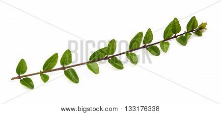 boxwood branch isolated on a white background