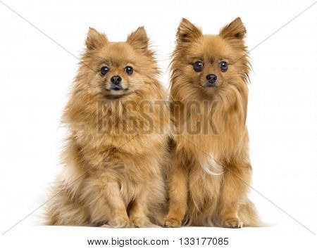 Couple of German Spitz looking at the camera and sitting, isolated on white