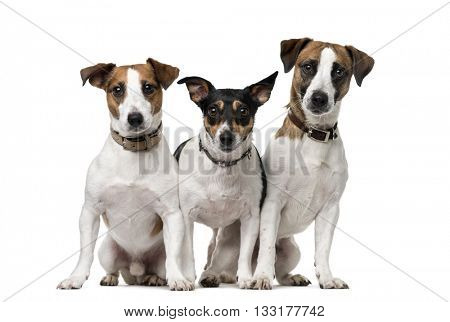 Group of Jack Russell Terrier looking at the camera and sitting, isolated on white