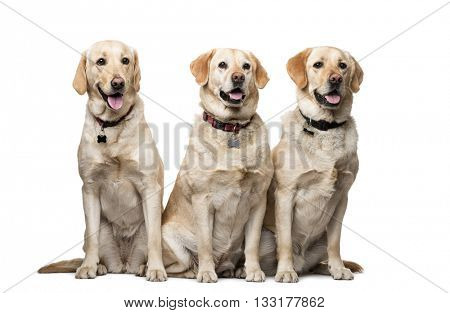Group of Labrador Retriever looking away and sitting, isolated on white