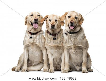 Group of Labrador Retriever looking at the camera and sitting, isolated on white