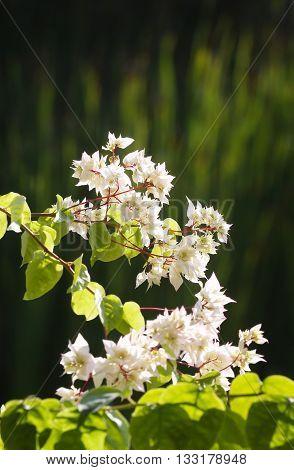 White flowers on sunlight  - blurred defocused green background