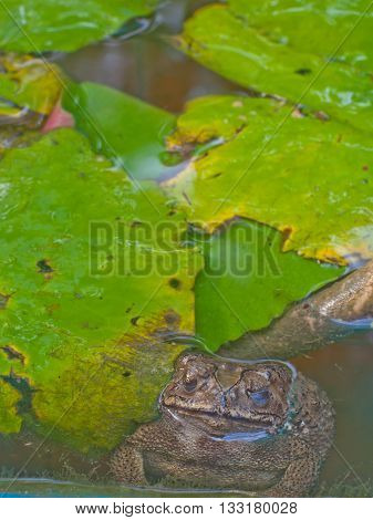tropical toad or frog in the pond with lotus leave