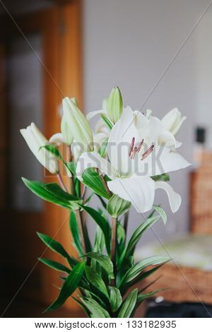 White Amaryllis bouquet in a home interior.