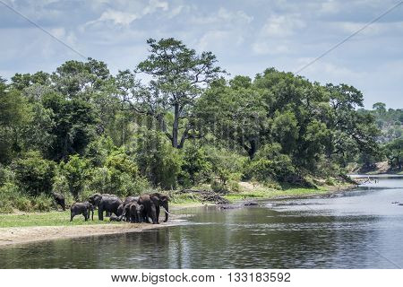 Specie Loxodonta africana family of Elephantidae, family of african bush elephants in Kruger Park, in the riverbank