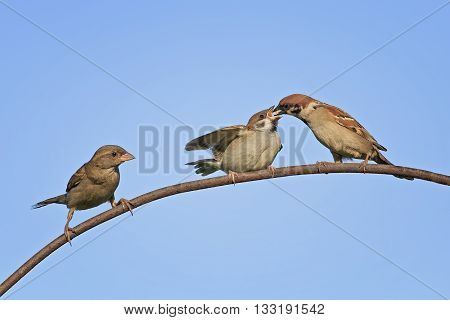 a bird a Sparrow feeding her little chick on blue isolated background