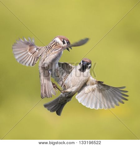 two birds of a Sparrow flying in the air along to spread its wings