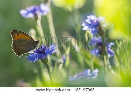 Butterfly Dusky Meadow Brown (Hyponephele lycaon) on a flowered cornflower against sunlight. soft focus, shallow DOF.