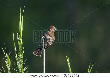 Specie Amblyospiza albifrons family of Ploceidae,  thick-billed weaver in Kruger