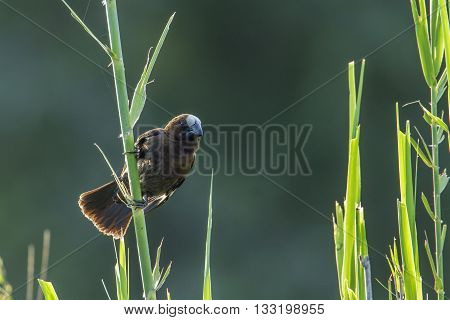 Specie Amblyospiza albifrons family of Ploceidae,  thick-billed weaver