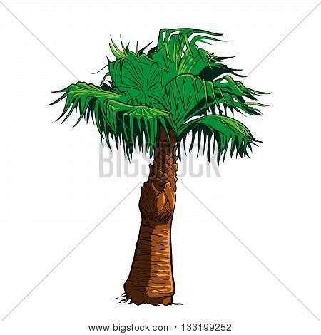 Realistic drawing of Sabal palm tree isolated against white background. EPS10 vector illustration.
