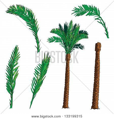 Isolated leaves of 4 various shapes and trunk  for creating customized Date palm tree. EPS10 vector illustration.