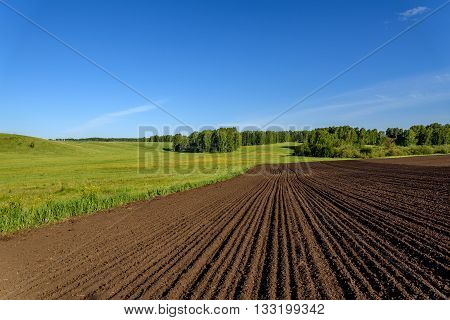 Beautiful rural landscape with yellow flowers on a green meadow birches and furrows on a brown plowed field on a background of blue sky