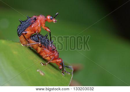 Spiny Leaf Rolling Weevils mating (Paroplapoderus sp., Attelabidae)