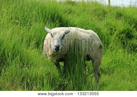 SHEEP ON THE GREEN GRASS, IN THE PARK OF THE RAMPARTS OF MONTREUIL ON SEA, PAS DE CALAIS, FRANCE