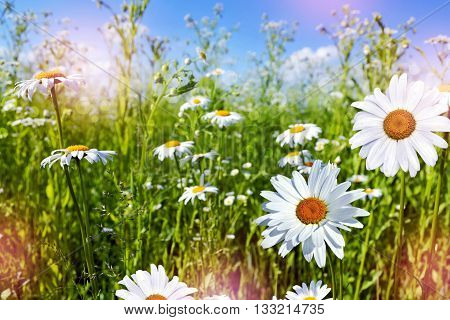 Wildflowers daisies. Summer landscape. Colorful daisy flowers