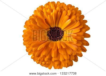 Marigold flower, Calendula Officinalis, with leaves in flowerpot isolated on white