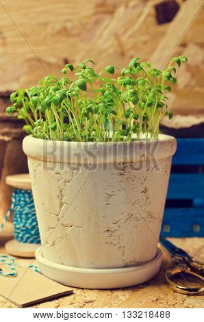 Seedlings of green watercress in a ceramic pot. Selective focus.