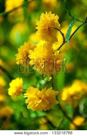 Flower Keriya Japanese terry or Easter Rose